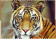 Tiger, Sawai Madhopur Travel Guide