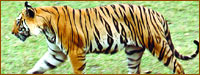 Tiger, Wildlife Tours Rajasthan